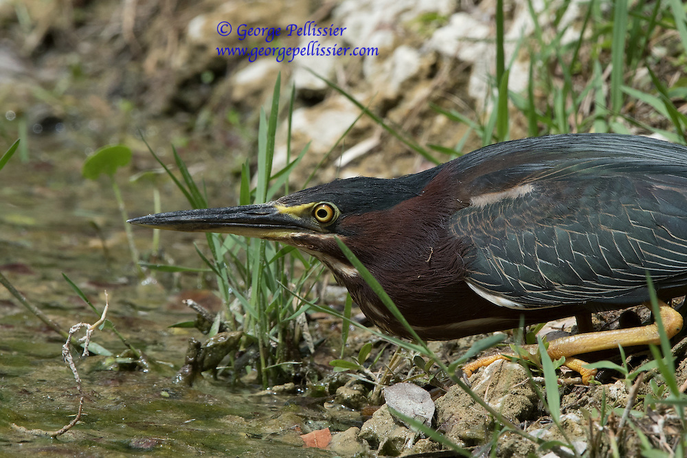 A Green Heron stalking fish at Fairchild Gardens, Miami, FL.