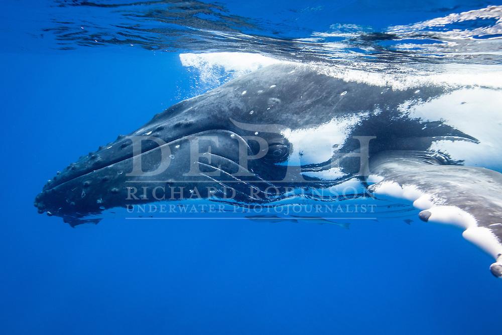 Megaptera novaeangliae (Humpback Whale) female off the coast of the Vava'u Island group in the Kingdom of Tonga.<br /> Tuesday 04  September 2012.<br /> Photograph Richard Robinson &copy; 2012.