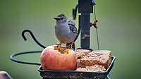Gray Catbird feeding on an apple. Image taken with a Nikon D5 camera and 600 mm f/4 VR lens