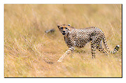Cheetah on the savannah of Maasai Mara, Kenya. Nikon D850, 600mm, f4, 1/6400sec, ISO500, Aperture priority