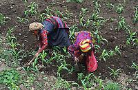Nepal, region de Nuwakot, village de Yarsa, Ethnie Tamang, champs de mais. // Nepal, Nuwakot region, Yarsa village, Tamang ethnic group, corn field.
