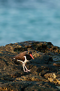 American Oystercatcher (Haematopus palliatus) seeking for food in the rocks at Isla Pacheca shore. Las Perlas Archipelago, Panama province, Panama, Central America.