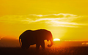 Elephant at sunset, Serengeti National Park, Tanzania