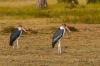 Marabou stork, near Kwara Camp, Okavango Delta, Botswana.