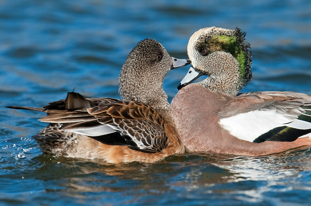 American Wigeon, Anas americana, male and female, Bosque del Apache NWR, New Mexico