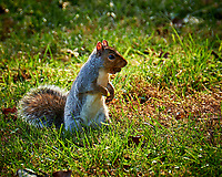 Squirrel with an Acorn. Image taken with a Fuji X-H1 camera and 100-400 mm OIS lens (ISO 200, 400 mm, f/5.6, 1/140 sec).