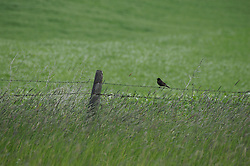 A bird sits on a fence in the Palouse, Washington.