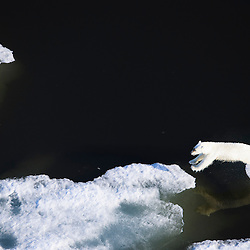 As the sea ice retreats polar bears follow the ice's edge. As travel on the ice is much easier bears jump from ice-sheet to ice-sheet where still possible. Once the ice is completely gone bears often need to swim enormous distances to land. Beaufort Sea, Alaska