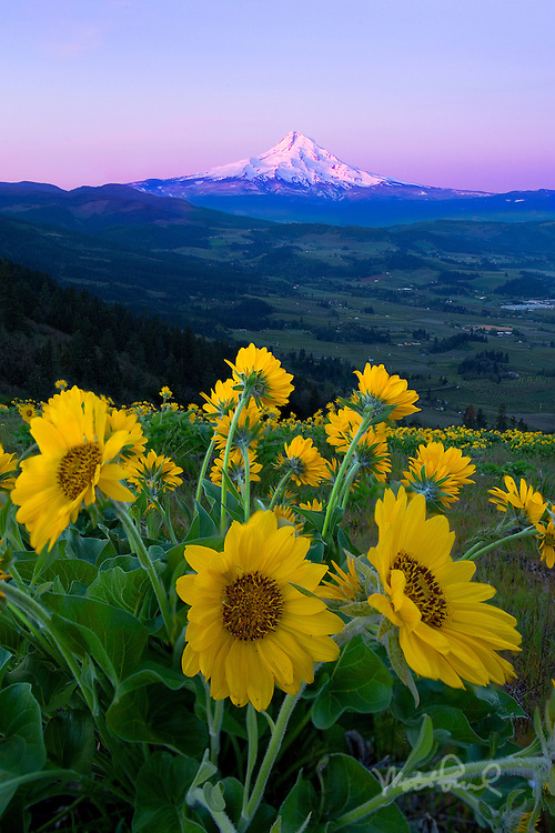 After three sleepless mornings I was debating getting up one more time at 5am. Good thing my friend Josh was pushing for one more morning photoshoot. And I am glad we did! The alpenglow on Mt. Hood was amazing along with the sweeping views of Hood River Valley and the last of the blooming Arrowleaf Balsamroot.