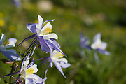 Columbines bloom along the Mummy Pass trail above the Colorado State University Pingree Park Campus.