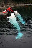 Woman trains beluga whales at the Vancouver Aquarium; Vancouver, British Columbia, Canada.