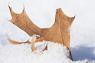 Powdery snow builds up around a Northern Pin Oak leaf (Quercus ellipsoidalis).