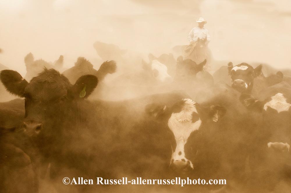 Cowboy, working cattle, dust