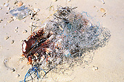 coral tangled in fishing net, <br /> broken off and left to die on beach, <br /> Malapascua Island, <br /> off Cebu, Philippines
