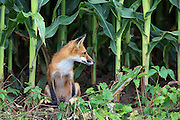 Male Red Fox in Cornfield