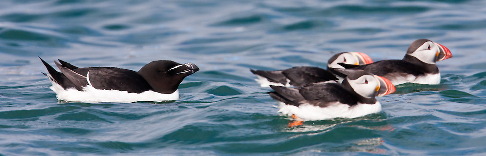 Atlantic Puffins and Razorbill, North America