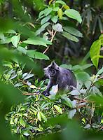 Thomas Leaf monkey eating foliage from a tree.