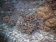Shoal of Dwarf Herring (Jenkinsia lamprotaenia) San Blas Islands, Panama.