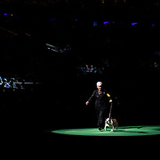 February 16, 2016 - New York, NY : The Bulldog enters the arena for Best of Show judging during the 140th Annual Westminster Kennel Club Dog Show at Madison Square Garden in Manhattan on Tuesday evening, February 16, 2016. CREDIT: Karsten Moran for The New York Times