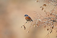 A male Western Bluebird perched on a branch in southern Utah.