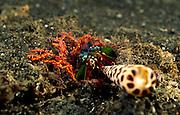 Der Bunte Fangschreckenkrebs (Odontodactylus scyllarus) gestaltet seinen Höhleneingang. | Peacock mantis shrimp (Odontodactylus scyllarus)