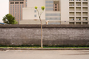 A lone tree, Beijing, The People's Republic of China