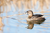 A Pied Billed Grebe supporting its summer colors as nesting season gets started.