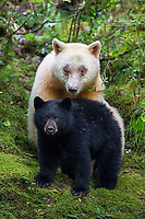 A white kermode bear with her black cub in the Great Bear Rainforest, BC, Canada.