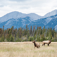 tall mountains bull and cow elk in meadow