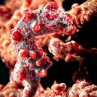 Pigmy Seahorse on coral