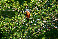 Ringed Kingfisher (Ceryle torquatus), Araras Ecolodge,  Mato Grosso, Brazil (Photo: Peter Llewellyn)