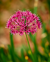 Allium. Image taken with a Nikon D810a camera and 105 mm f/1.4 lens.