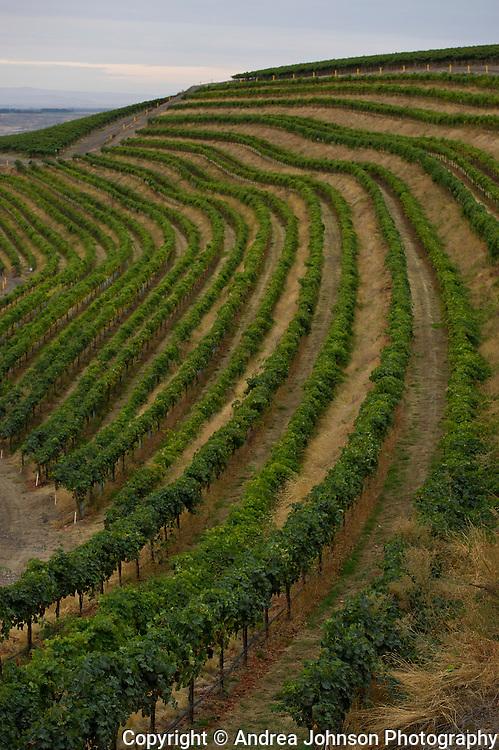 Longshadows Benches Vineyard harveset 2011, Horse Heaven Hills, Washington