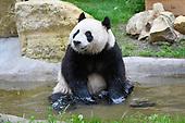 Reuzenpanda's eindelijk naar buiten in Ouwehands Dierenpark