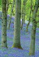 BLUEBELL Hyacinthoides non-scripta (Liliaceae) Height to 50cm. Attractive and hairless, bulbous perennial that grows in woodland and also on coastal cliffs. In wooded areas where the management regime suits its needs (sympathetically coppiced Hazel is ideal) it forms extensive and continuous carpets on the woodland floor. FLOWERS are bell-shaped with 6 recurved lobes at the mouth, and are bluish purple (very occasionally pink or white); borne in 1-sided drooping-tipped spikes (Apr-Jun). FRUITS are capsules. LEAVES are long, 15mm wide, glossy green and all basal. STATUS-Widespread throughout the region and sometimes locally abundant.