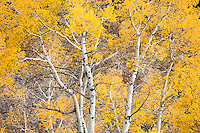 Bethel Ridge Aspen in autumn color, Wenatchee National Forest, Cascade Mountain Range, Washington, USA