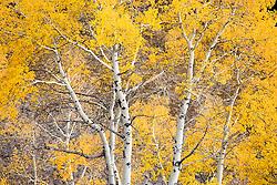 Bethel Ridge Aspen in autumn color, Wenatchee National Forest, Cascade Mountain Range, Washington, USA