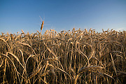 Idaho, North. Golden stalks of wheat against a blue sky. PLEASE CONTACT US FOR DIGITAL DOWNLOAD AND PRICING.