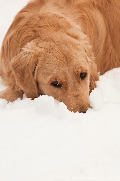 A dog (golden retriever) lying in the snow