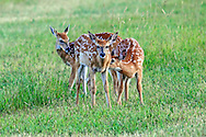 Three Whitetailed Deer fawns in habitat