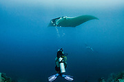 Giant Manta Ray (Manta birostris)<br /> Raja Ampat<br /> West Papua<br /> Indonesia