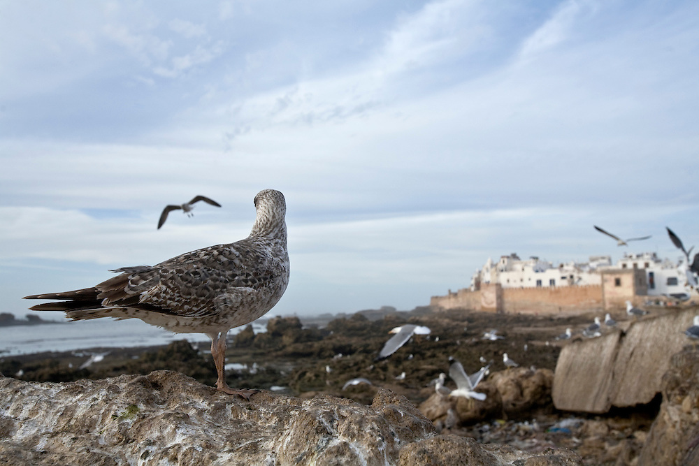A seagull stares towards the walls of the fortified town of Essaouira, a fishing town on the Moroccan seaboard.