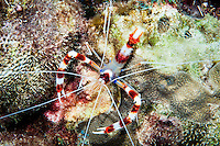 Banded Cleaner Shrimp (Steopus hispidus), St. Lucia.