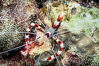 Banded Cleaner Shrimp (Steopus hispidus), St. Lucia.