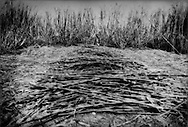 Sugar cane cutter in front of a row of cut sugar cane.  He will be paid by quantity he cuts each day, near Barahona, Dominican Republic.