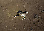DROUGHT IN ETHIOPIA<br /> <br /> The Borana tribe, part of Oromo people who make up around a third of the Ethiopian population, is suffering from drought for months. Cows are dying, meanwhile many people are complaining the lack of support from the government, thus generating massive uprisings, repressions and killing hundreds of protesters.<br />  Borana live in Kenya, Ethiopia and Somalia with a population of 500,000. They are semi pastoralists. Their life depends on their livestock, which are their only wealth. Their cattle are used in sacrifices and also as dowry or to pay legal fines. For one year, there has been no rain and more than 15,000 cows have died in Ethiopia.<br /> <br /> Photo shows: In Borana culture, a man's wealth is measured by the number of livestock he has. Many own over 1000 animals. Anyone with less than 20 head of cattle is considered impoverished.<br /> ©Eric lafforgue/Exclusivepix Media