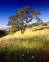 Oregon White Oak, Bald Hills Redwood National Park California USA