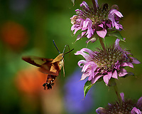 Hummingbird Clearwing moth feeding on a Lemon Mint flower. Image taken with a Nikon D5 camera and 80-400 mm VRII lens (ISO 450, 400 mm, f/8, 1/800 sec).