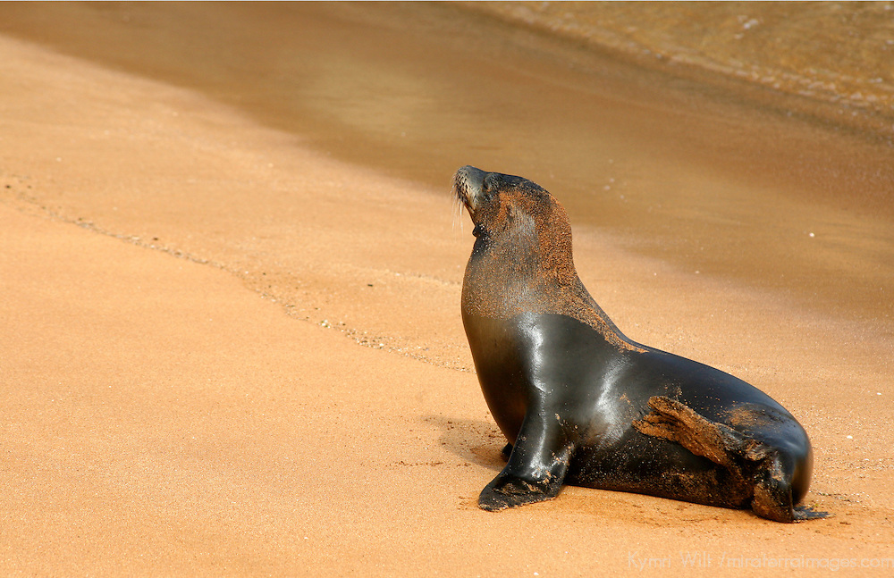 South America, Ecuador, Galapagos Islands. A galapagos Sea Lion on the beach at Bartholomew Island.
