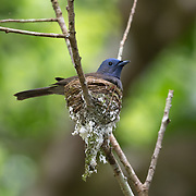 "The black-naped monarch or black-naped blue flycatcher (Hypothymis azurea) is a slim and agile passerine bird belonging to the family of monarch flycatchers found in southern and south-eastern Asia. They are sexually dimorphic, with the male having a distinctive black patch on the back of the head and a narrow black half collar (""necklace""), while the female is duller with olive brown wings and lacking the black markings on the head."